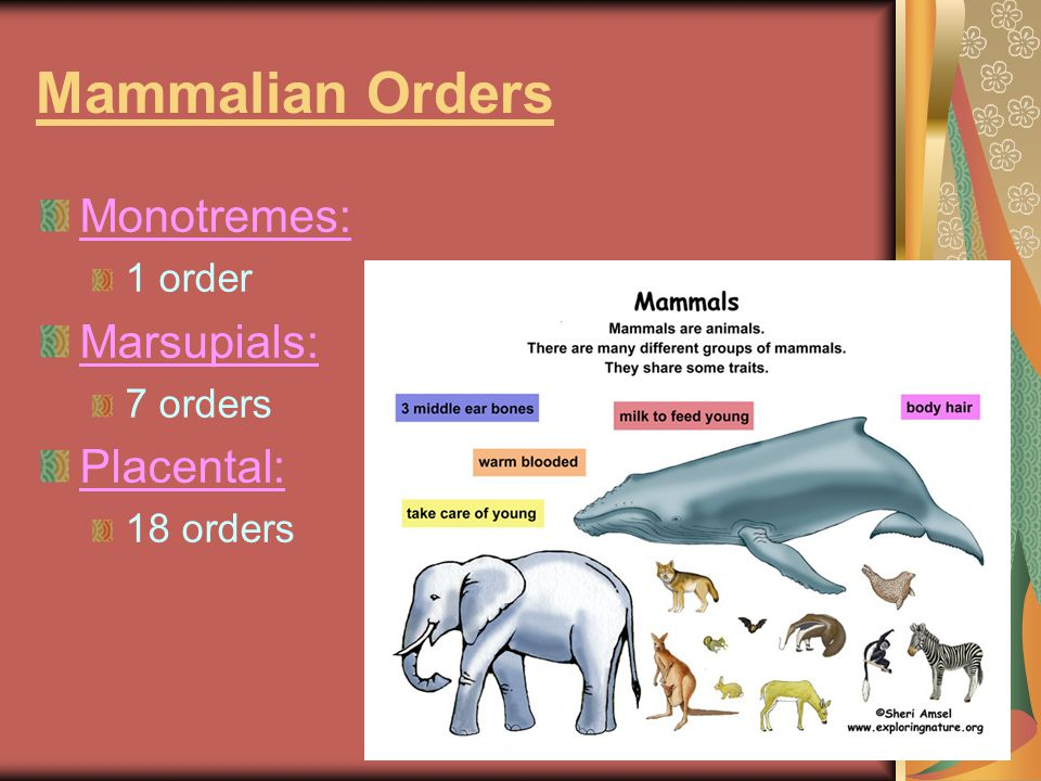 Mammalian Orders Monotremes: Marsupials: Placental: 1 order 7 orders