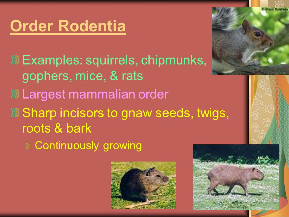 Order Rodentia Examples: squirrels, chipmunks, gophers, mice, & rats