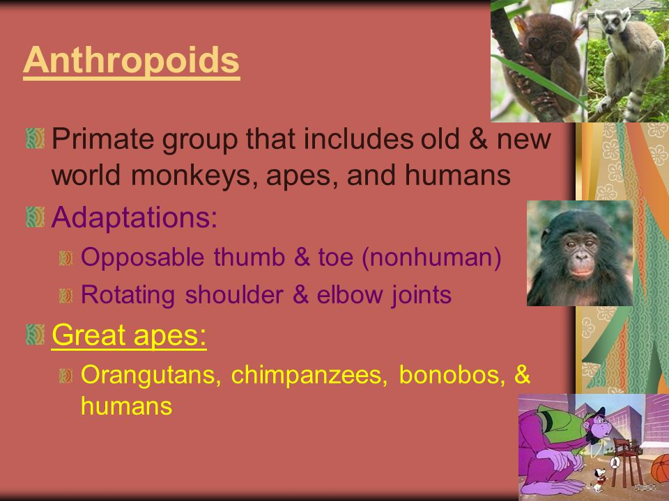 Anthropoids Primate group that includes old & new world monkeys, apes, and humans. Adaptations: Opposable thumb & toe (nonhuman)