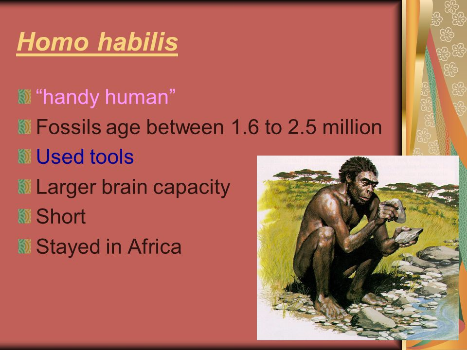 Homo habilis handy human Fossils age between 1.6 to 2.5 million