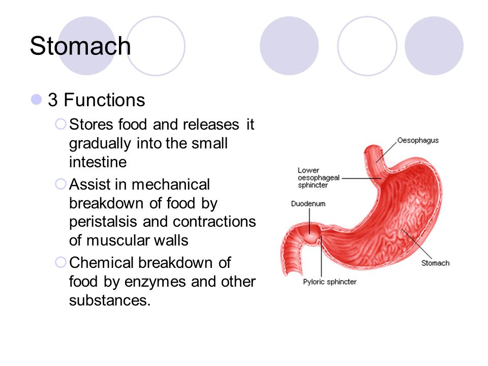 Stomach 3 Functions. Stores food and releases it gradually into the small intestine.