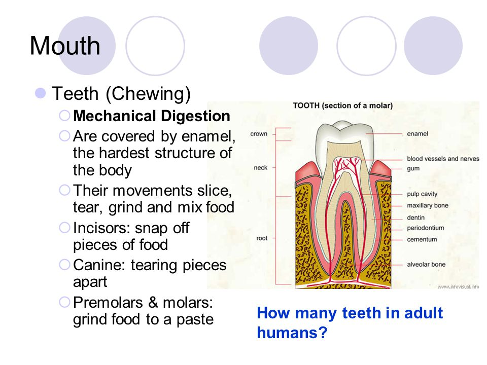 Mouth Teeth (Chewing) How many teeth in adult humans
