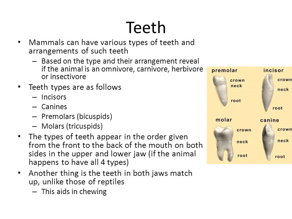Teeth Mammals can have various types of teeth and arrangements of such teeth.