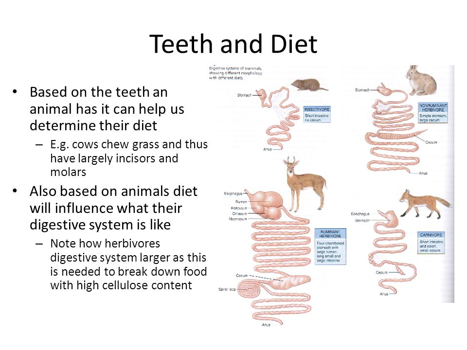 Teeth and Diet Based on the teeth an animal has it can help us determine their diet. E.g. cows chew grass and thus have largely incisors and molars.