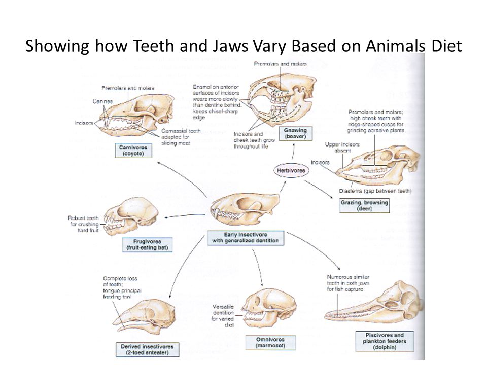 Showing how Teeth and Jaws Vary Based on Animals Diet