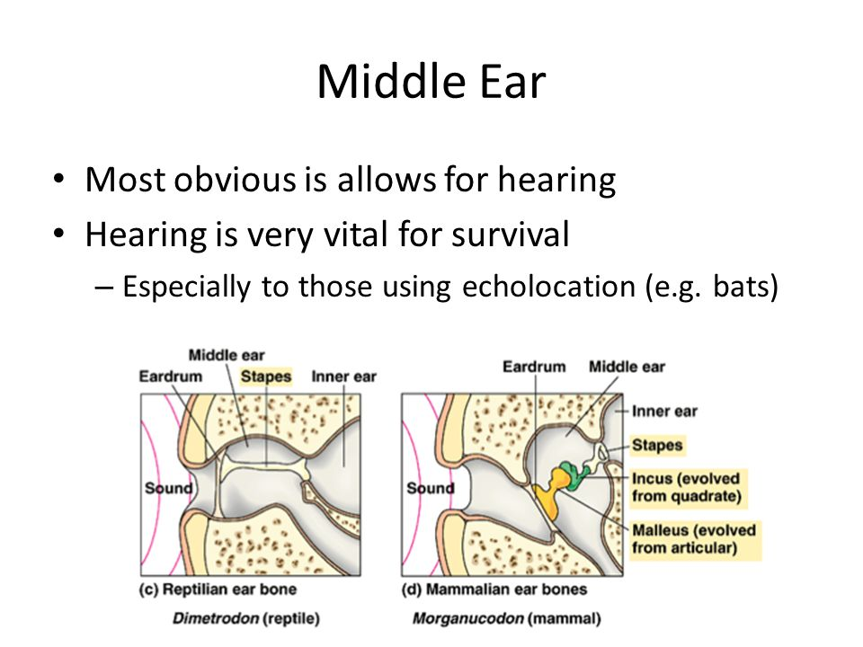 Middle Ear Most obvious is allows for hearing