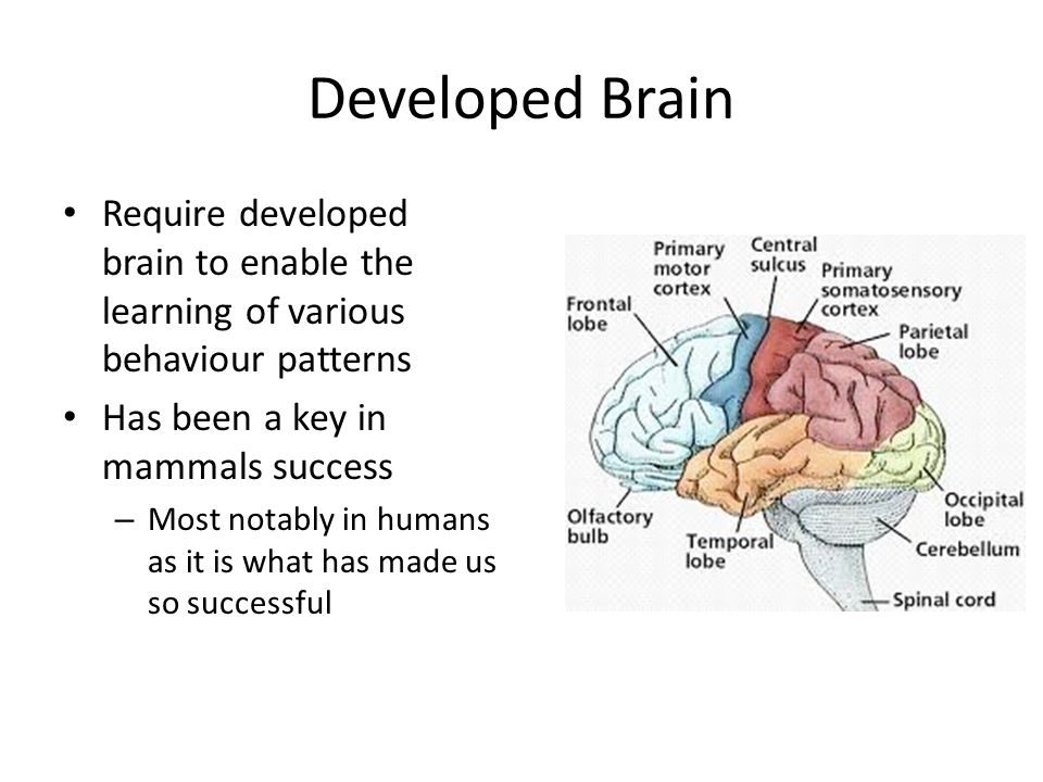 Developed Brain Require developed brain to enable the learning of various behaviour patterns. Has been a key in mammals success.