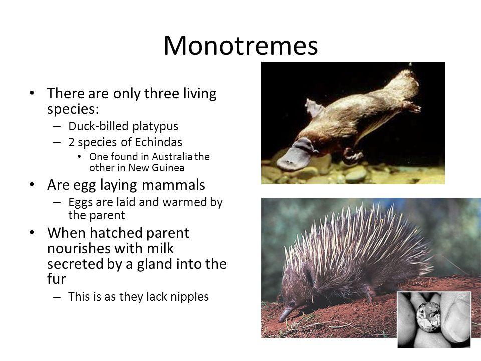 Mammals that lay eggs list