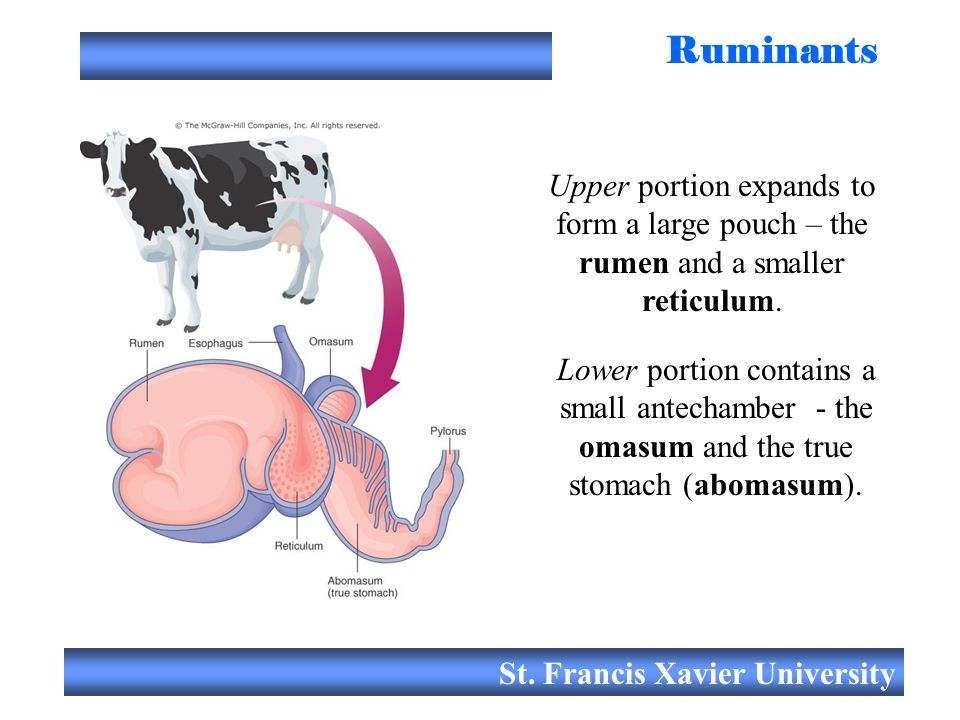 Ruminants Upper portion expands to form a large pouch – the rumen and a smaller reticulum.