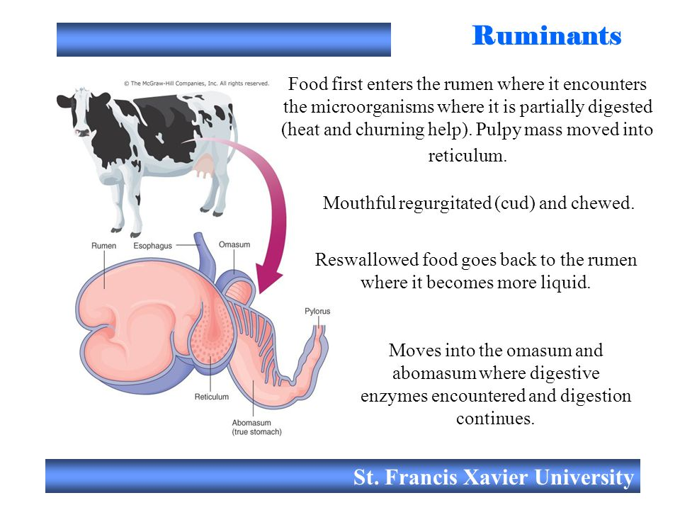 Ruminants St. Francis Xavier University