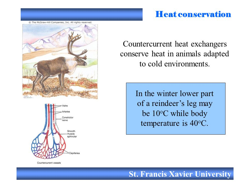Heat conservation Countercurrent heat exchangers conserve heat in animals adapted to cold environments.