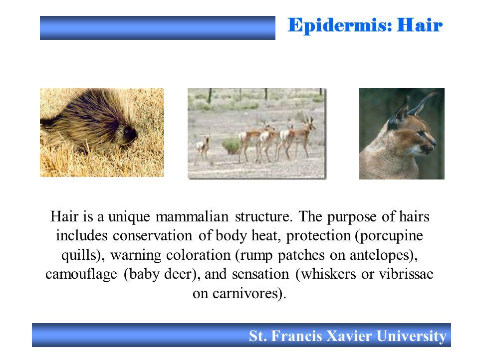 Epidermis: Hair