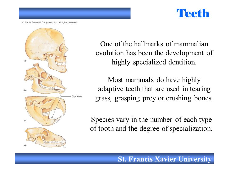 Teeth One of the hallmarks of mammalian evolution has been the development of highly specialized dentition.