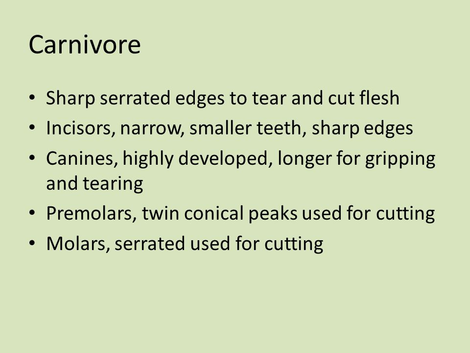 Carnivore Sharp serrated edges to tear and cut flesh