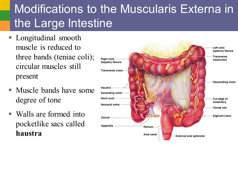 Modifications to the Muscularis Externa in the Large Intestine