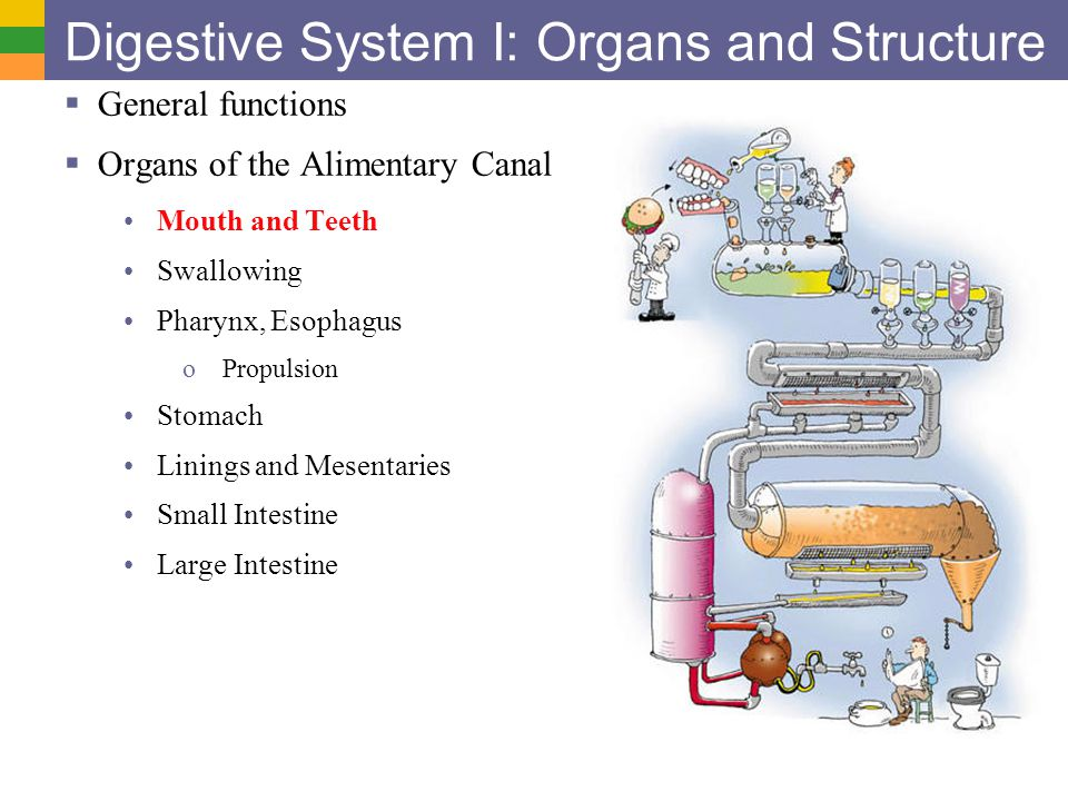 Digestive System I: Organs and Structure