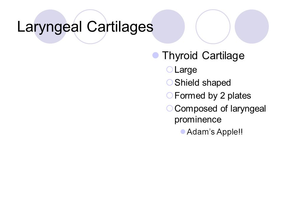 Laryngeal Cartilages Thyroid Cartilage Large Shield shaped