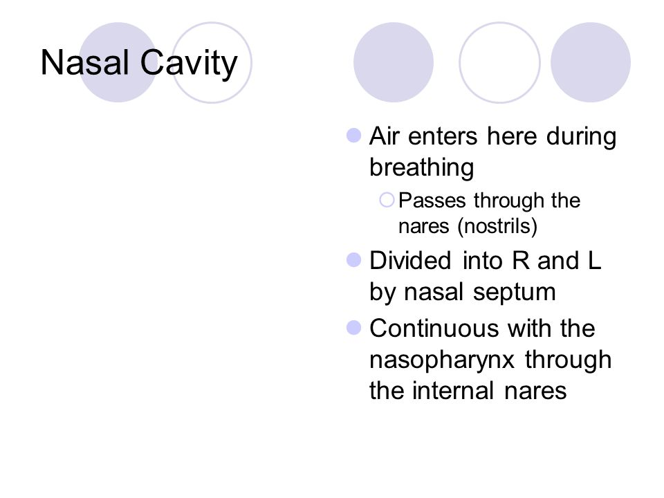 Nasal Cavity Air enters here during breathing
