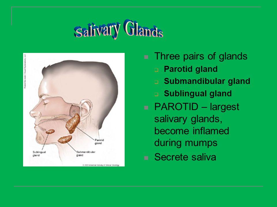 Salivary Glands Three pairs of glands