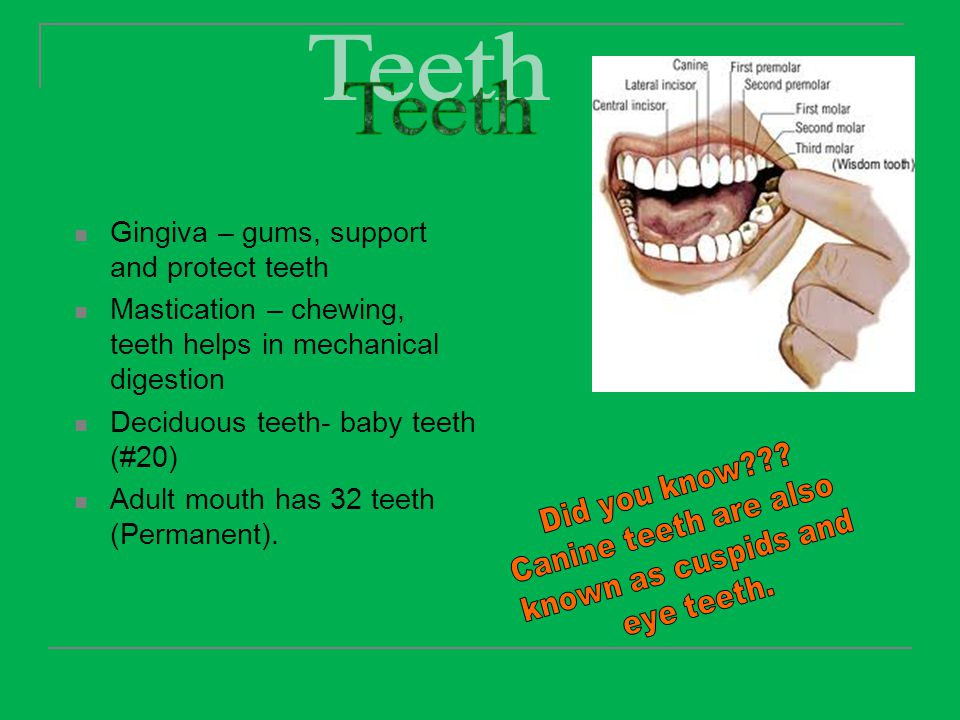 Teeth Gingiva – gums, support and protect teeth