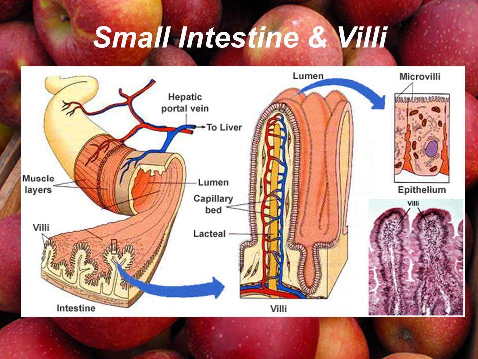 Small Intestine & Villi