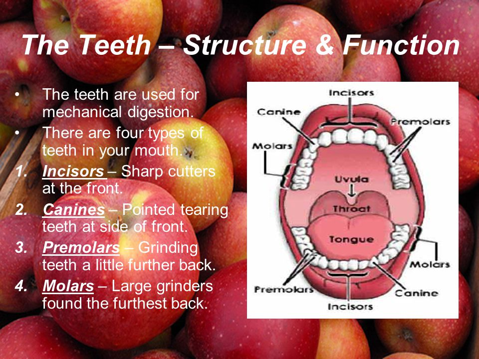 The Teeth – Structure & Function