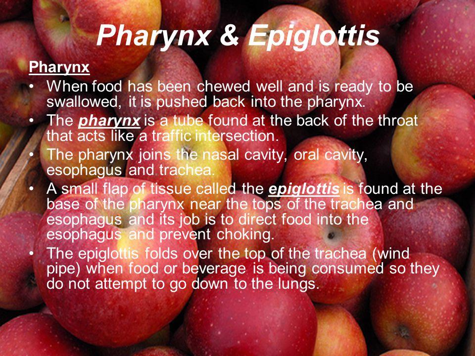 Pharynx & Epiglottis Pharynx