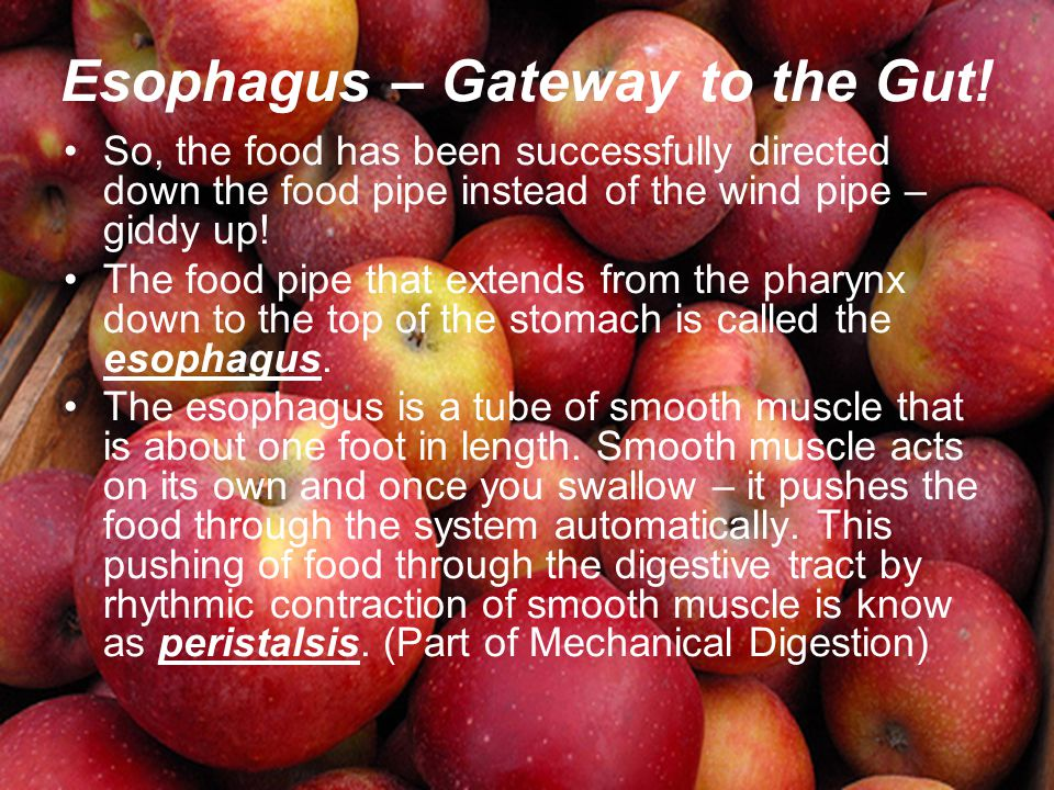 Esophagus – Gateway to the Gut!
