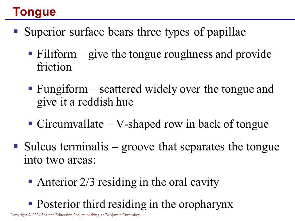 Superior surface bears three types of papillae