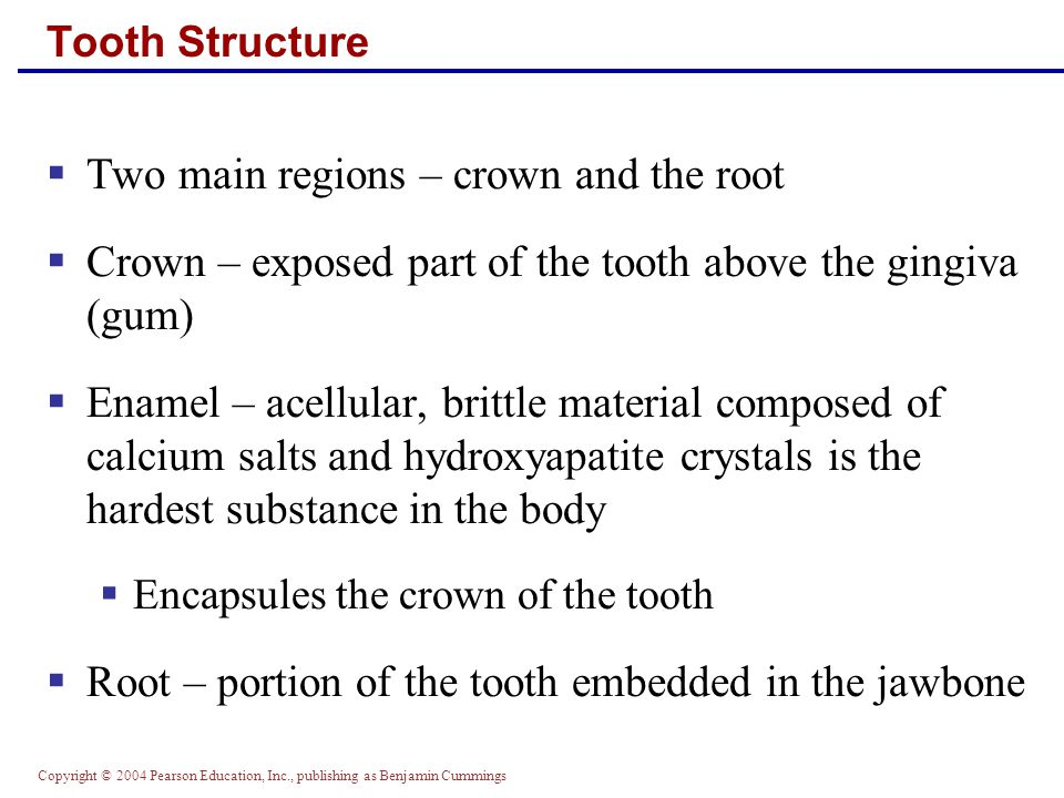 Two main regions – crown and the root