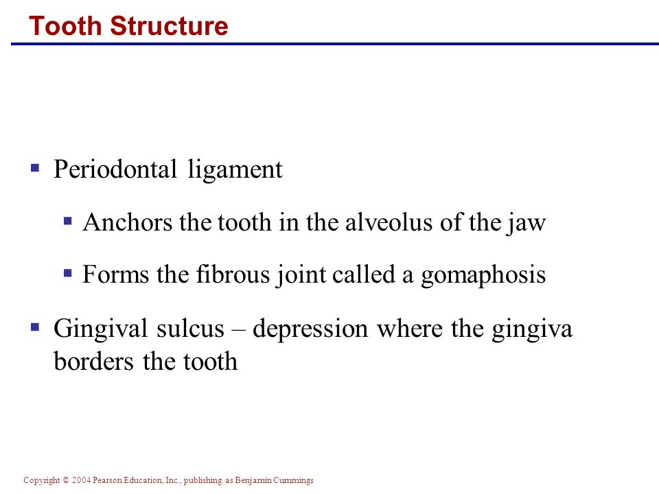 Gingival sulcus – depression where the gingiva borders the tooth