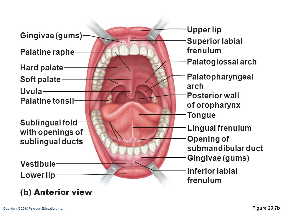 Upper lip Gingivae (gums) Superior labial frenulum Palatine raphe