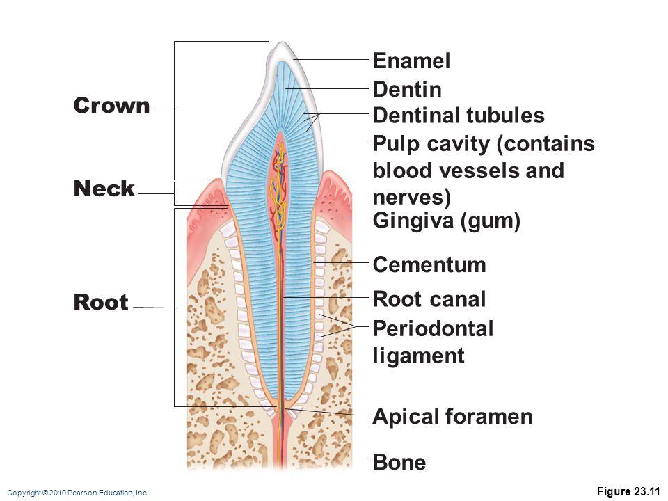 Enamel Dentin Crown Dentinal tubules Pulp cavity (contains
