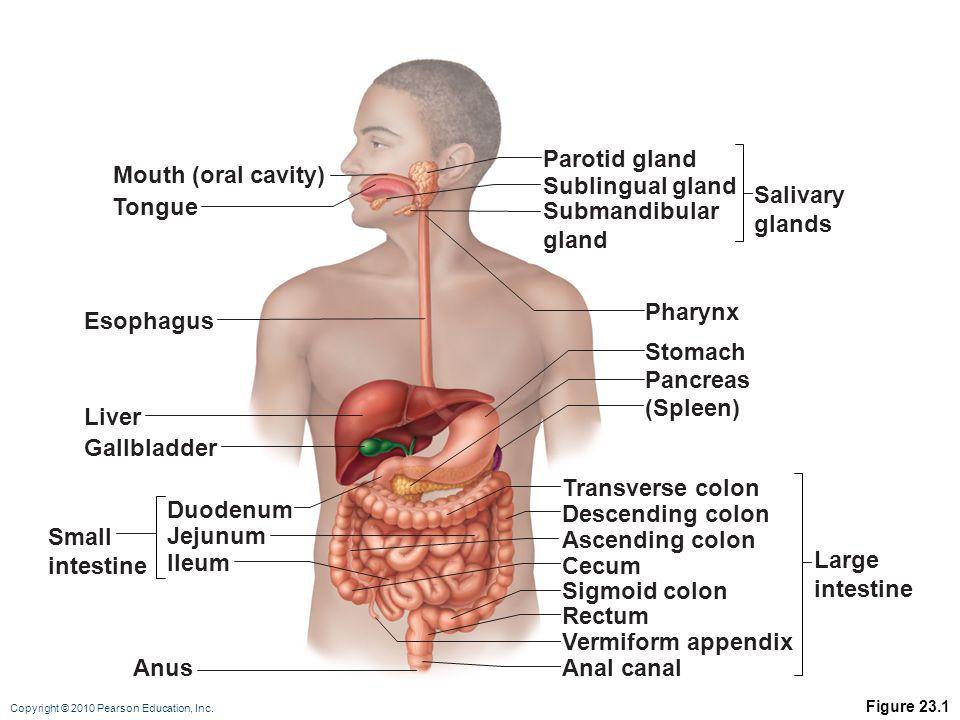 Parotid gland Mouth (oral cavity) Sublingual gland Salivary glands
