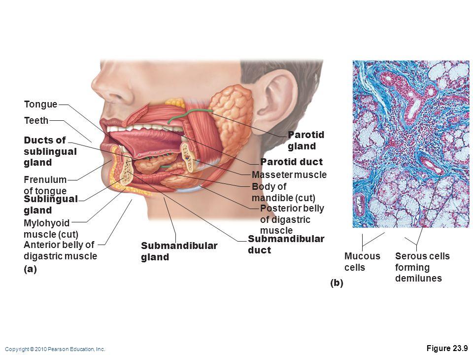 Tongue Teeth Parotid gland Ducts of sublingual gland Parotid duct