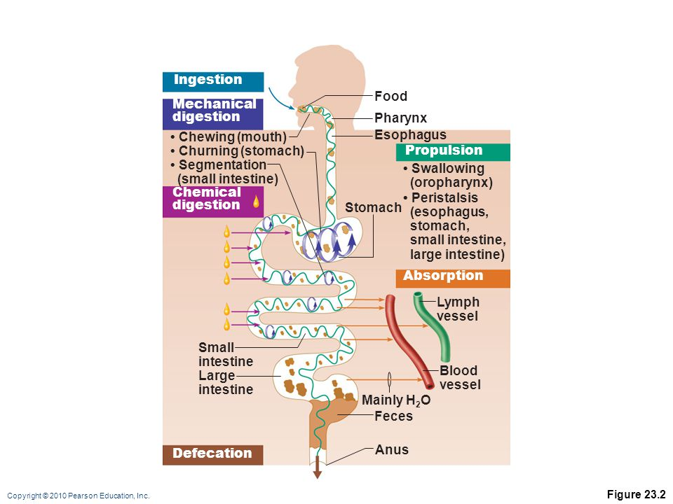 Ingestion Food Mechanical digestion Pharynx • Chewing (mouth)