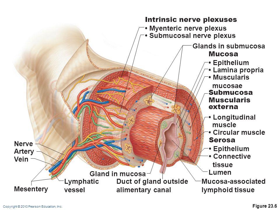 Intrinsic nerve plexuses • Myenteric nerve plexus