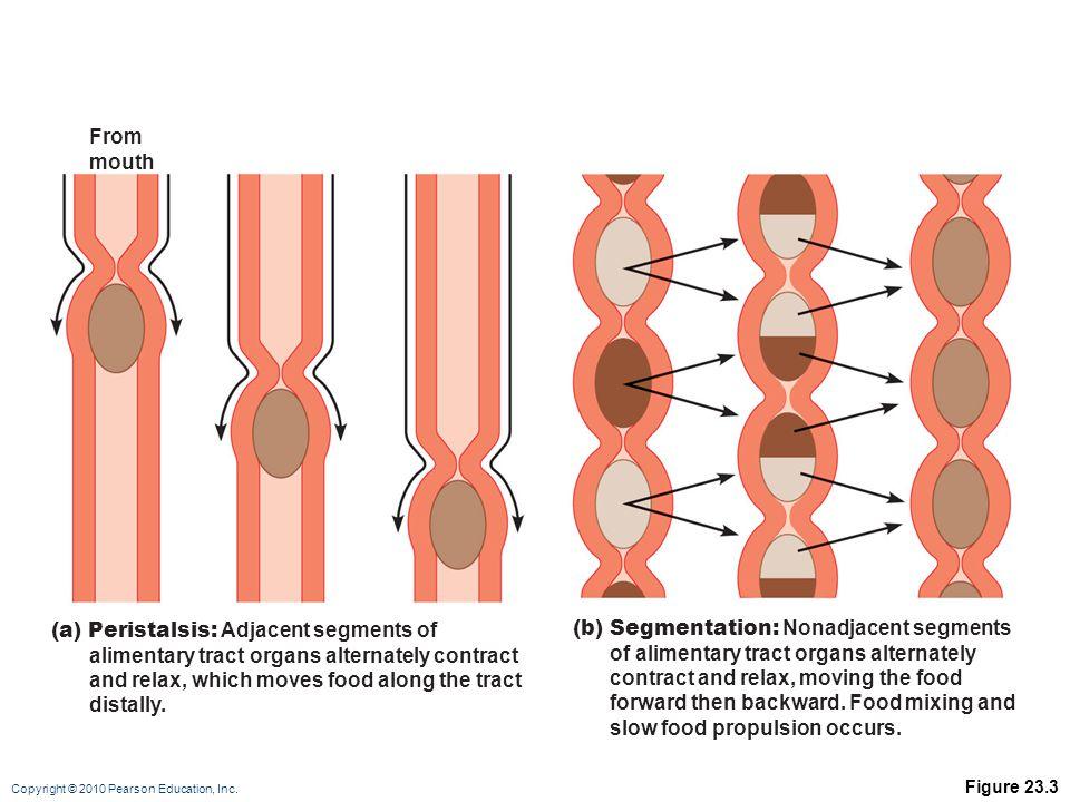 (a) Peristalsis: Adjacent segments of