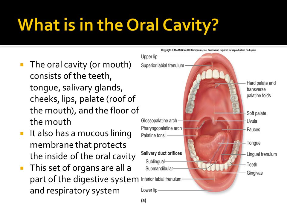 What is in the Oral Cavity