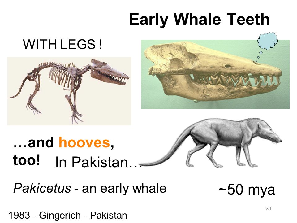 Early Whale Teeth …and hooves, too! In Pakistan… ~50 mya WITH LEGS !