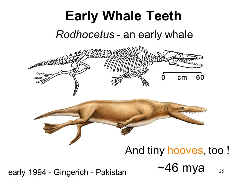 Early Whale Teeth ~46 mya Rodhocetus - an early whale