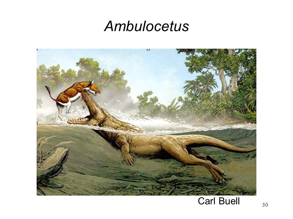 Ambulocetus Carl Buell