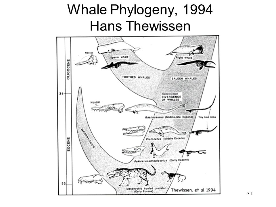 Whale Phylogeny, 1994 Hans Thewissen
