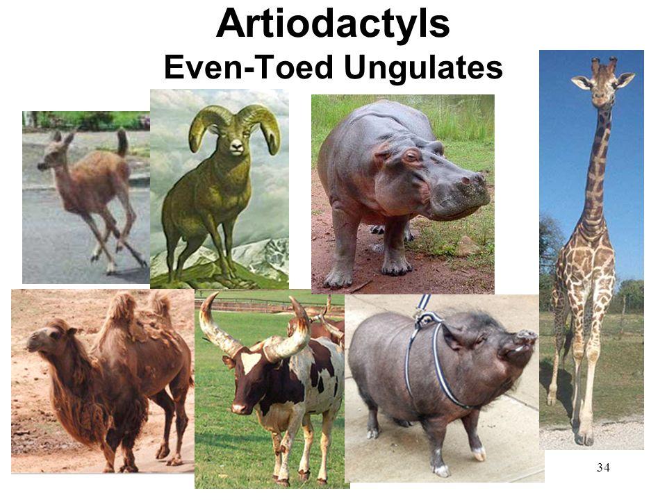 Artiodactyls Even-Toed Ungulates