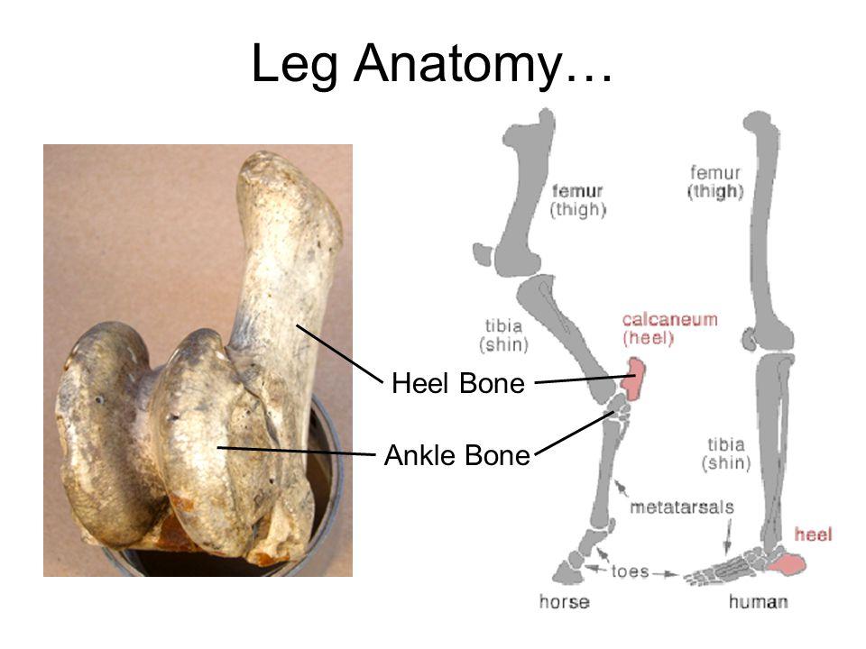 Leg Anatomy… Heel Bone Ankle Bone