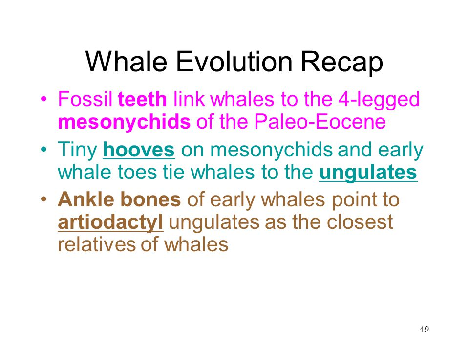 Whale Evolution Recap Fossil teeth link whales to the 4-legged mesonychids of the Paleo-Eocene.