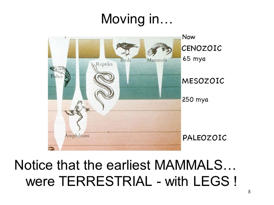 Moving in… Notice that the earliest MAMMALS… were TERRESTRIAL - with LEGS !