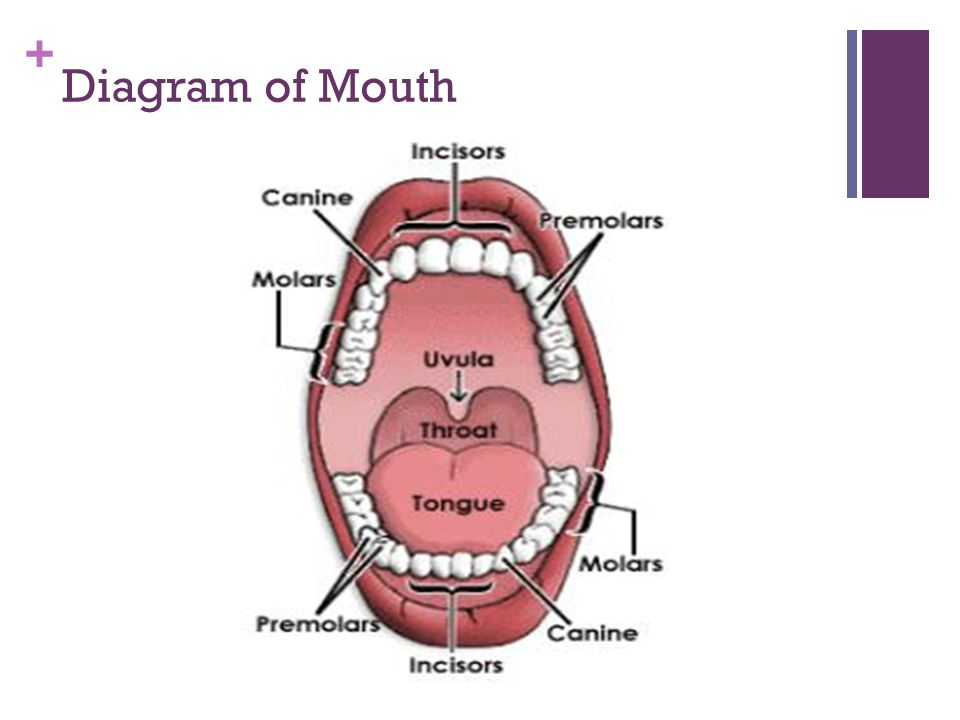 Diagram of Mouth
