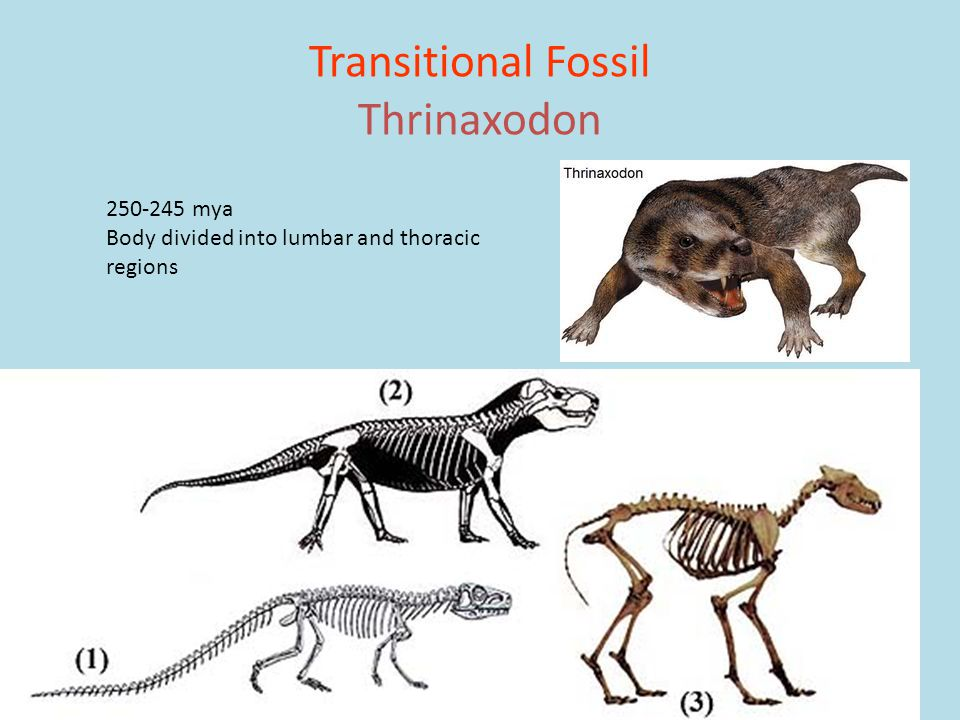 Transitional Fossil Thrinaxodon