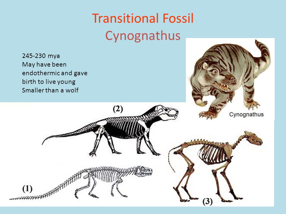 Transitional Fossil Cynognathus